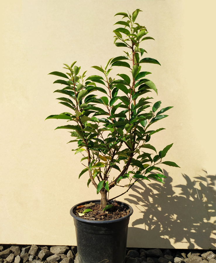 Prunus lusitanica well branched 110/120CM Pot Grown 5ltr